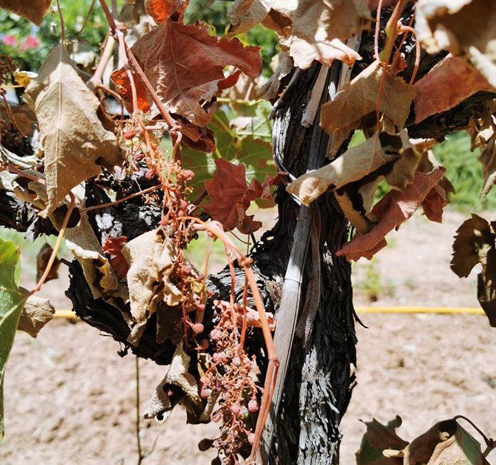 Hérault : mille exploitations sinistrées par la canicule